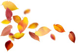 Falling and spinning autumn leaves on white