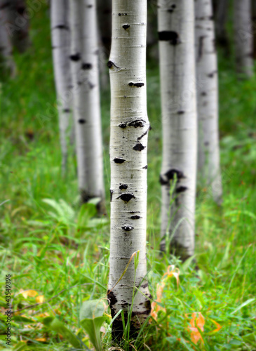 Foto op Aluminium Berkbosje Aspen Birch Trees in Summer