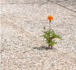 orange marigold growing out of a cobblestone floor