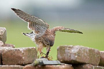 Young common Kestrel eating a bird