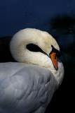 Mute Swan Preening by the Lake
