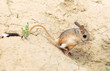 Great Jerboa, Allactaga major