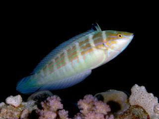 Tropical reef fish Spottail coris