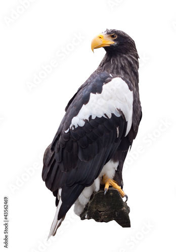 Steller's sea eagle  over white