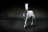 Fototapeta arabski - Arabian - Zwierzę domowe