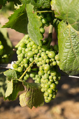 Early white wine grapes