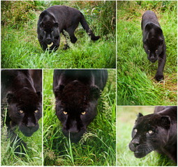 Compilation of five image of Black Jaguar Panthera Onca