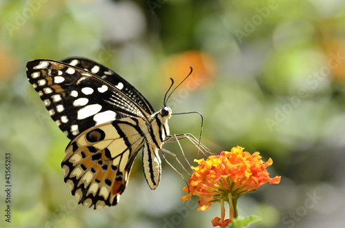 Lime butterfly (Papilio demoleus) feeding on flower