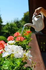 Balkonblumen gießen