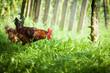 freilebendes Hühnerpaar auf Nahrungssuche