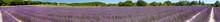 Panorama d'un champ de lavande