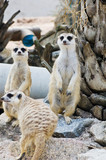 Meerkats in the nature.