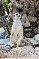 Meerkat in the wild life.