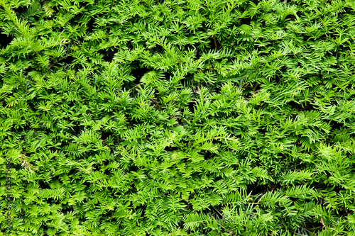 Yew bush close up background