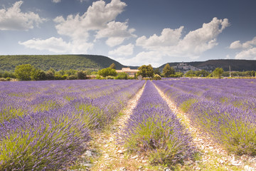 Fields of lavender near to Banon in Provence.