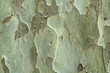 Green bark of tree