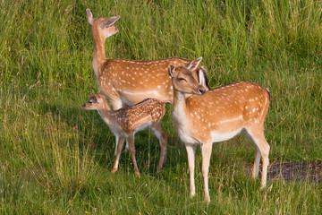 Dwie sarny z potomstwem czujnie wypatrują niebezpieczeństwa.