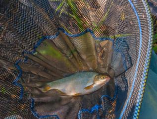 Caught fish in landing net