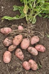 pommes de terre 'Franceline'