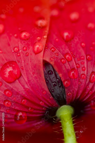 Red Poppy flower © alessandrozocc