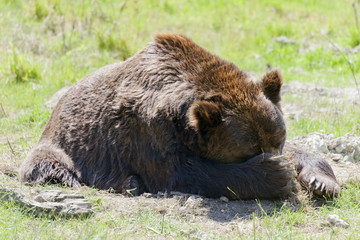 Tired brown bear on meadow