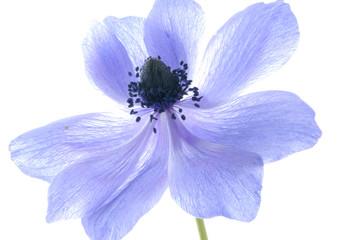 blue hepatica