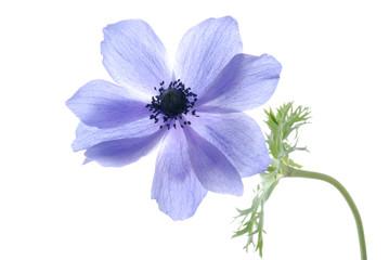 blue hepatica flower