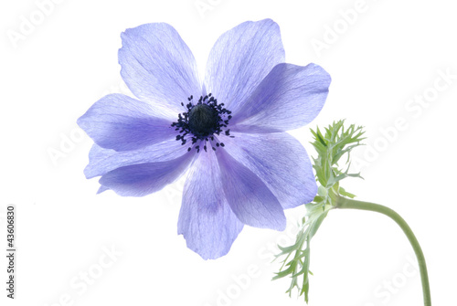 blue hepatica flower