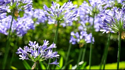 Blue flower of agapanthus africanus