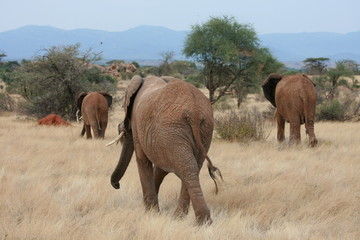 Elephants in Samburu