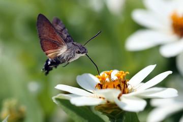 Schmetterling im Anflug auf Blüte