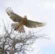 Pale chanting goshawk (Melierax canorus). In flight