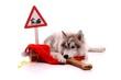 Junghund Husky wartet auf Weihnachten