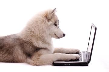 Junghund Husky mit Laptop