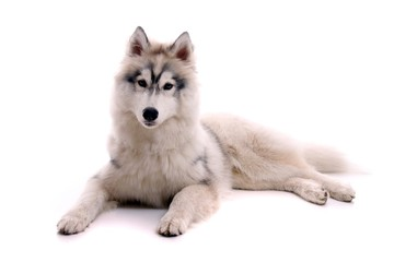 Junghund Husky liegend