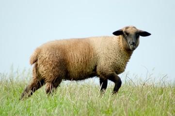 Schaf auf der Deichkrone