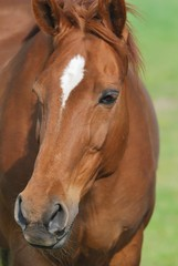Pferdekopf im halbproil