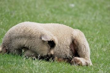 Lamm liegend im Gras