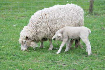 Lamm und Muttertier