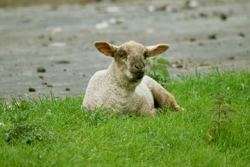 Schaf auf einer Wiese