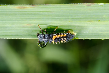 ladybird larva with hanging raindrop reflecting meadow