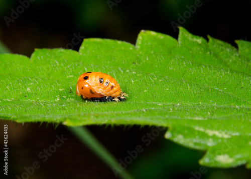 from ladybird pupa to adult beetle