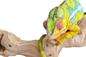 Colorful chameleon.