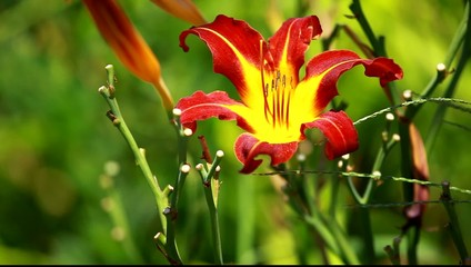 Orange Lily Blooming in a Sunny Garden