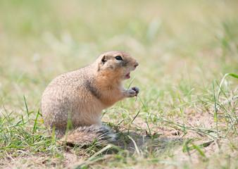 Screaming gopher (ground squirrel)