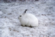White hare in winter time