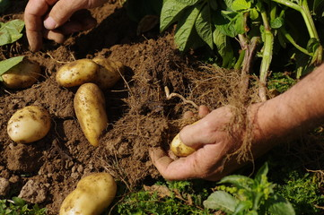 Harvesting Jersey Royal potatoes