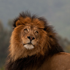 unique lion portrait
