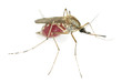 Mosquito filled with blood isolated on white background