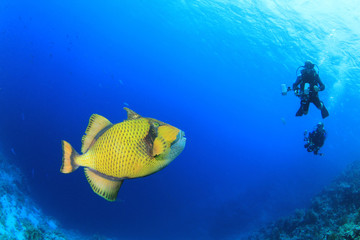 Titan Triggerfish approaches scuba divers